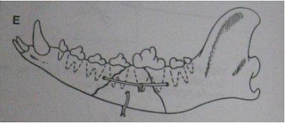 Operasi dan Reposisi Fraktur Os. Maxilaris dan Mandibula pada Hewan (Bedah Fraktur)