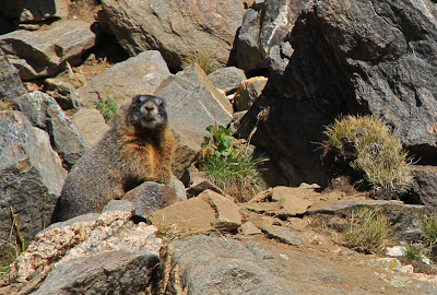 This Yellow-bellied Marmot was the guardian of Square Top Lake in Colorado.