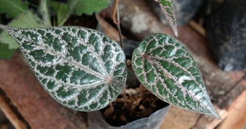 Daun sirih merah tanaman obat herbal