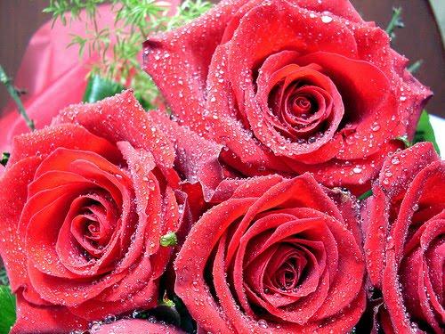 HD Desktop Wallpapers Free Online: Rose
