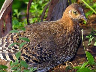 Ternak Ayam Hutan Hijau untuk Pemula