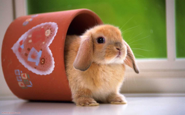 Cute White Rabbit Wallpapers For Desktop: Top 33 Beautiful And Cute Rabbit Wallpapers In HD