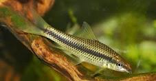 8 Fauna Pemakan Alga Terbaik Untuk Aquascape