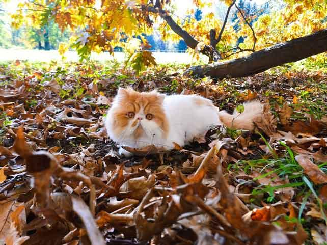5 Contoh Deskripsi Tentang Kucing Dalam Bahasa Inggris Dan