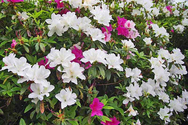 White and red azalea blossoms