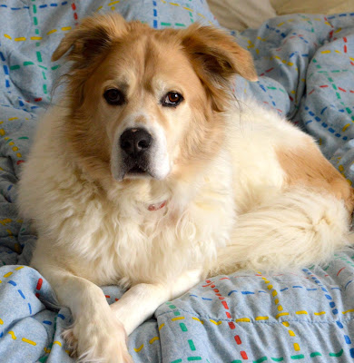 A Great Pyrenees Irish Setter mix rescue dog