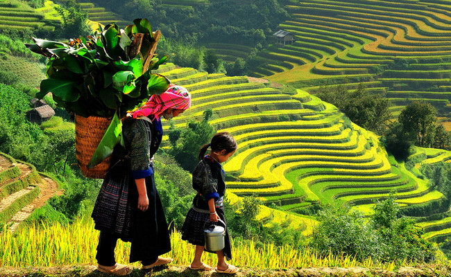 Xvlor Sa Pa terraced rice fields are farming on slopes of Hoang Lien Son Mountains