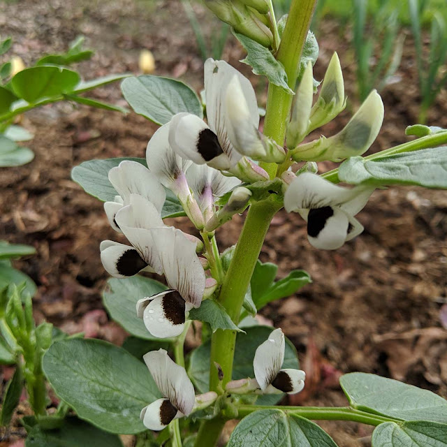 close up of fava bean flowers