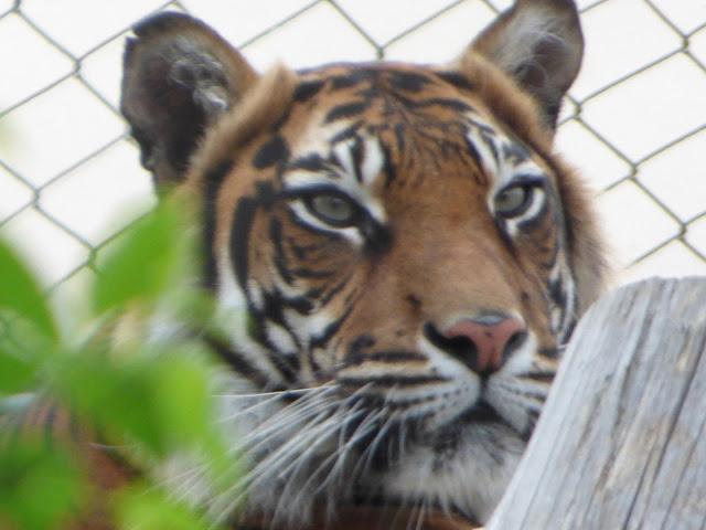 Sumatran tiger at ZSL London Zoo