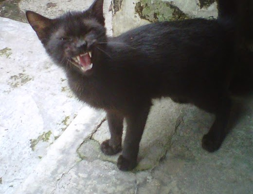 Foto Kucing Hitam Lagi Marah Seperti Foto Anjing