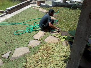 Rumput gajah mini dan jepang untuk konsumen di jalan anggur sumbersekar sengkaling malang tahun 2021