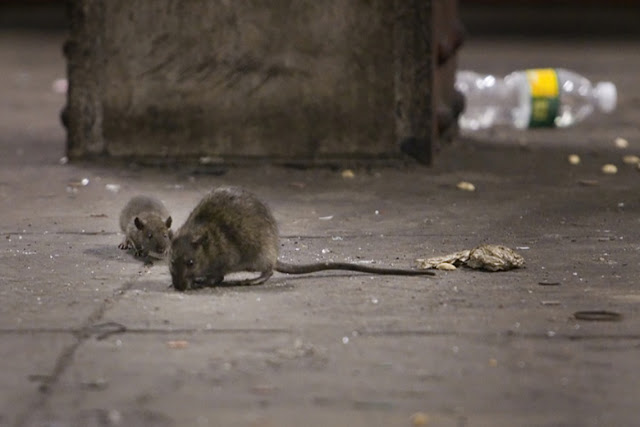 Increases in rats, bedbugs and mosquitoes are unintended consequence of urbanization