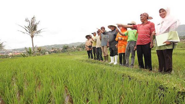 WOW... Kota Bandung Masih Miliki Sawah Abadi di Cibiru