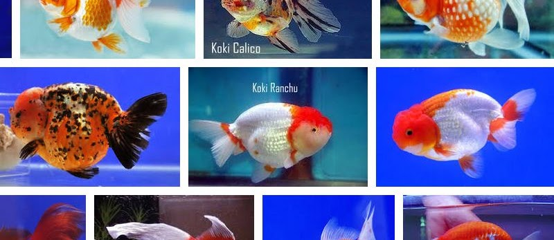 Jenis Ikan Mas Koki Termahal Beserta Gambarnya