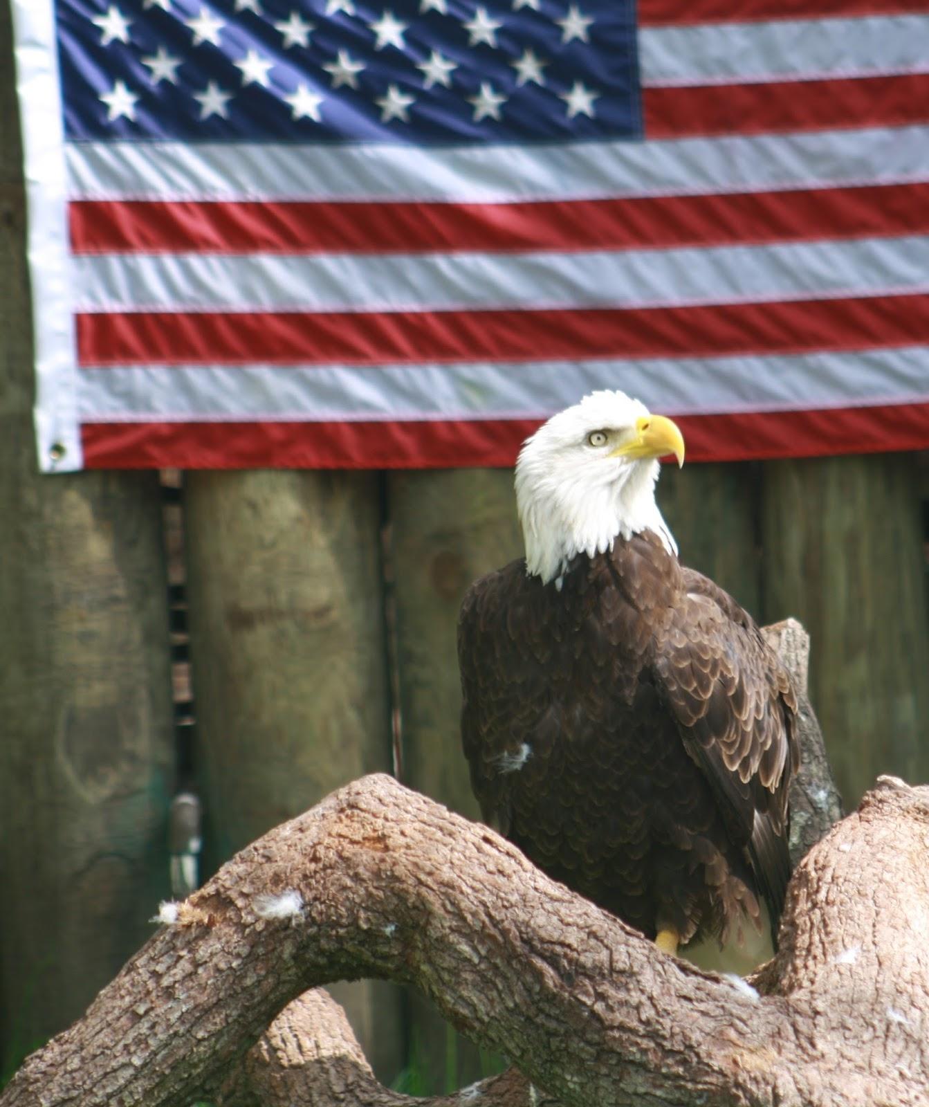 Bald eagle the American national emblem.