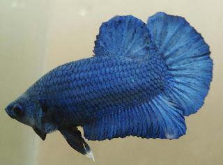 Nama-nama Warna Ikan Hias Cupang - Catatan Si Singa