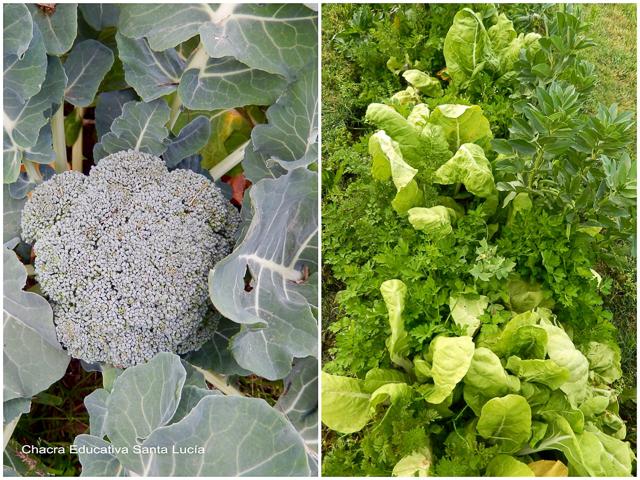 Brócoli y cantero con acelga, habas, perejil, zanahorias - Chacra Educativa Santa Lucía