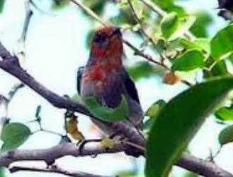Gembala News Cara Merawat Burung Kemade Cabe Cabean Jawa
