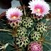 Cacto Ferocactus macrodiscus