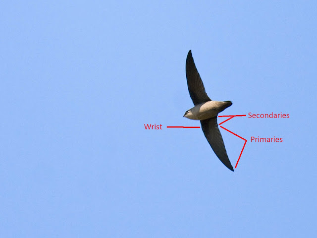 Figure 3: Vaux's Swifts have 10 primaries, but only 6 (or 8, if you count very tiny) secondaries.