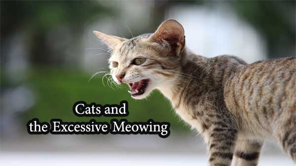 excessive meowing cat