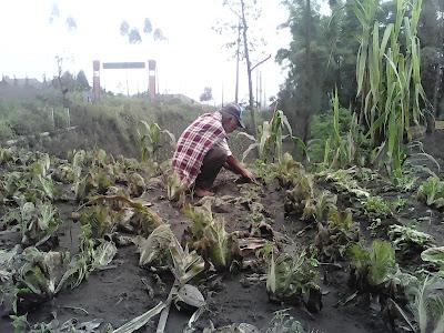 Dampak Erupsi Gunung Bromo terhadap pertanian penduduk Tengger