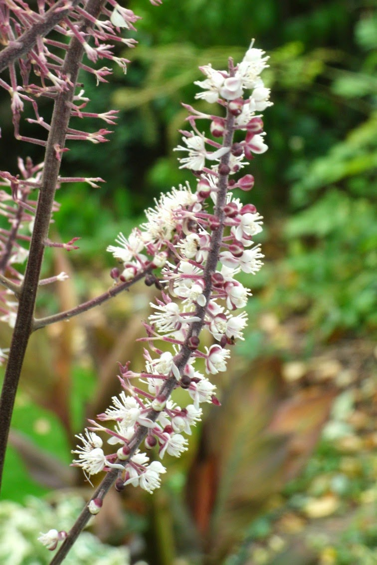 Actaea Cimicifuga simplex Brunette Snakeroot bugbane fall flowers by garden muses-not another Toronto gardening blog.