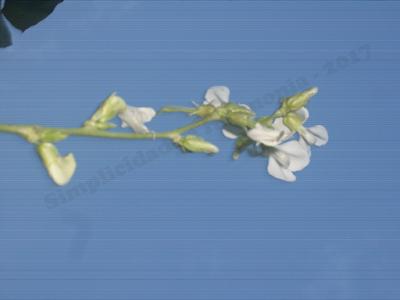 Flor-do-pé-de-feijao