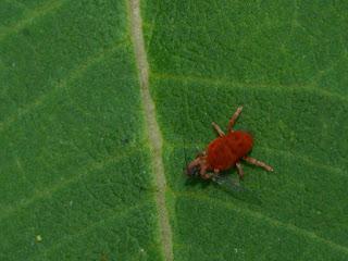 Acarien rouge - Araignée rouge