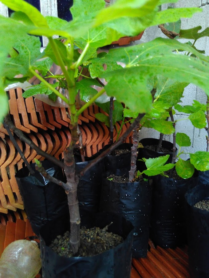 Berbagai manfaat  tanaman buah tin | Bibit dijual dengan harga 50.000/jenis