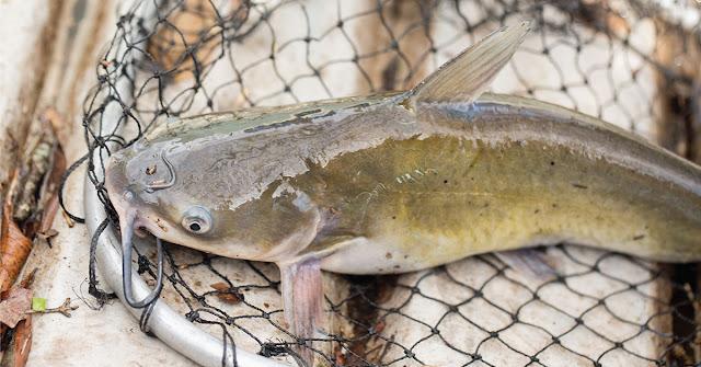 Ternak Lele  Memulai Bisnis Budidaya Ikan Lele