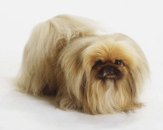 Husky Border Collie Mix Puppies Cute Dogs: Cute Peking...