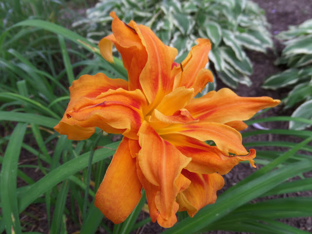 double flowering day lily