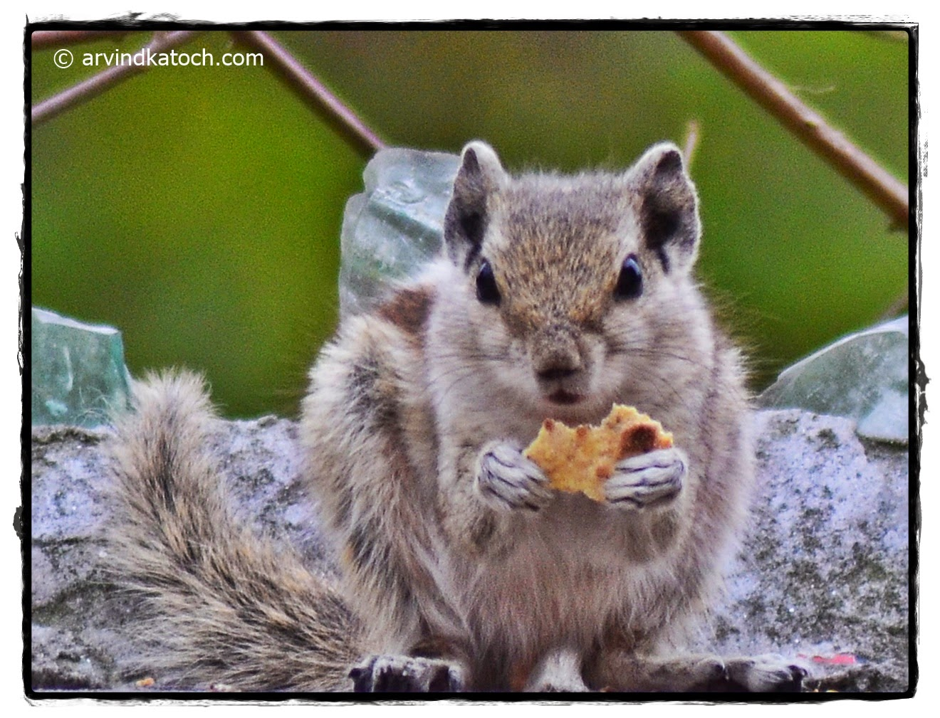 Indian Palm Squirrel,