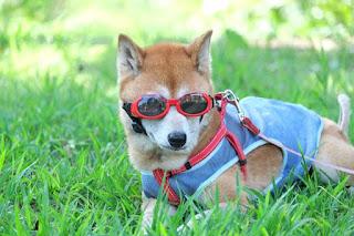 cute dog wearing doggles sunglasses