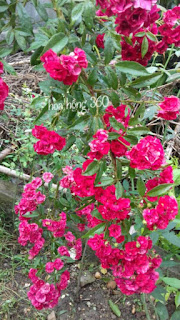 red fairy rose