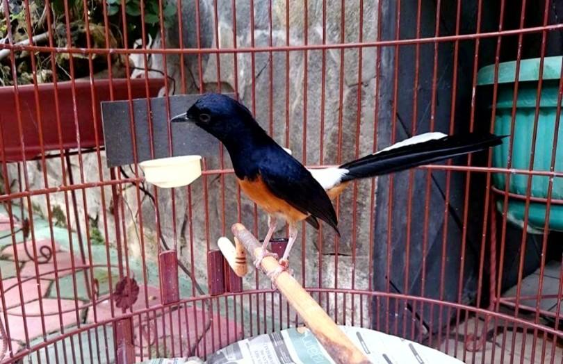 18 Jenis Burung Murai Batu Terbaik Di Seluruh Dunia Beserta Gambar Dan Penjelasannya Hobinatang