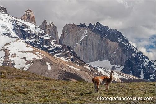 Guanaco en Torres del Paine (Chile)
