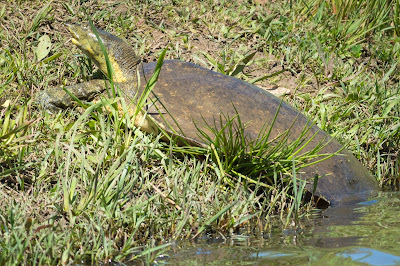 Smooth Softshell Turtle, Post Oak Park