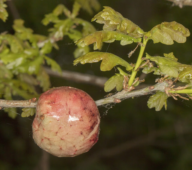 Oak Apple gall.  Jubilee Country Park, 30 April 2017.