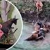 Zoo hidang keldai hidup kepada harimau untuk tatapan pengunjung