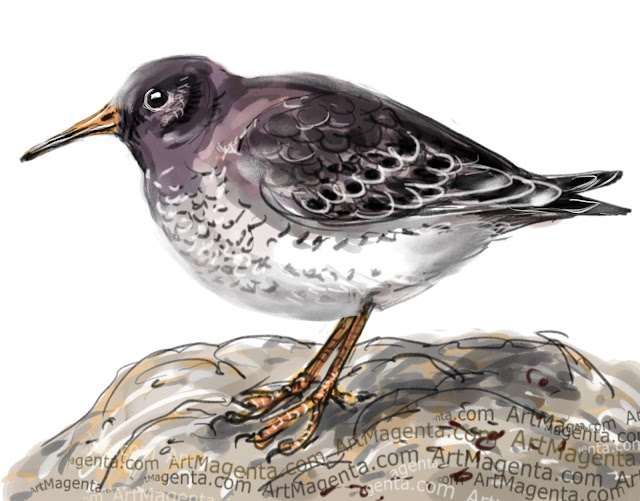 Purple Sandpiper bird painting by Artmagenta