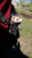 Gordy the Ferret