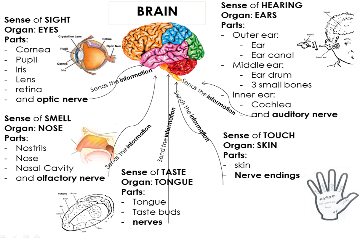 five senses diagram troubleshooting 3 way 4 switches wiring diagrams 5 brain pictures to pin on pinterest pinsdaddy