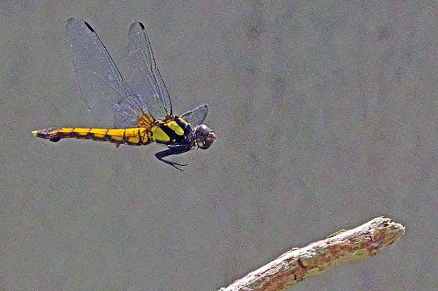 gold dragonfly, flight, branch