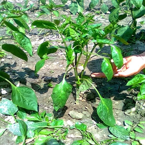 finalizarea copilirii ardeiului pana la primul fruct