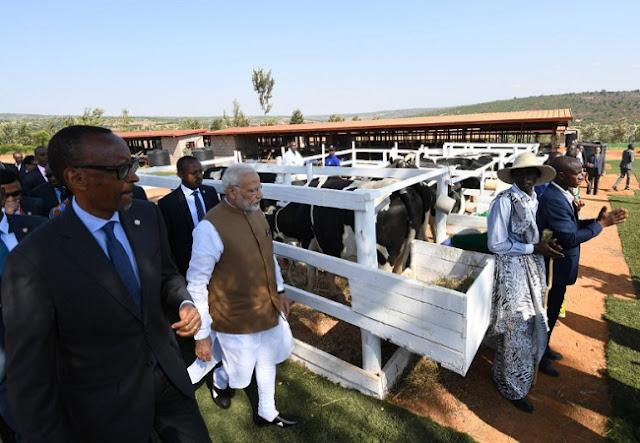 रवांडा में प्रधानमंत्री नरेंद्र मोदी ने 200 गाय दान कीं