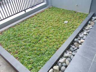 Jual rumput gajah mini murah untuk taman minimalis | solusi taman anda