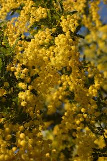 Aromo, Acacia dealbata Link, Mimosa fina o mimosa común. Aromo francés. Arbol de flores amarillas.