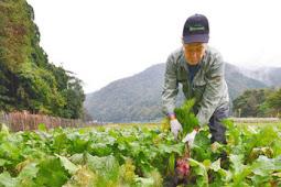 杉箸アカカンバ収穫 敦賀市杉箸伝統野菜赤カブ
